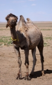 Bactrian camel, Gobi desert