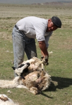 Shearing sheep, Chandmani, West Mongolia