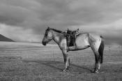 Nomad's horse in Tsambagarav Uul National Park, b/w